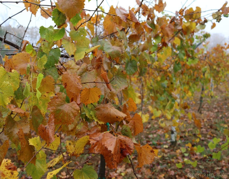 about-me-vineyard-in-fall