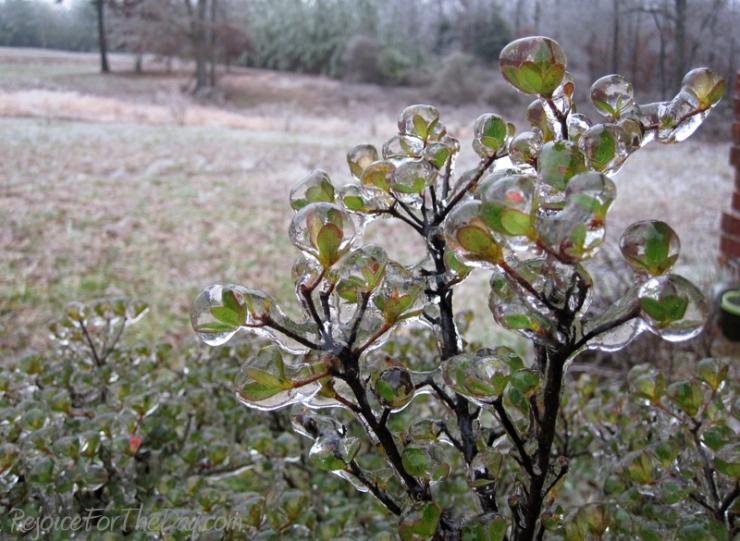 Azalea in Ice