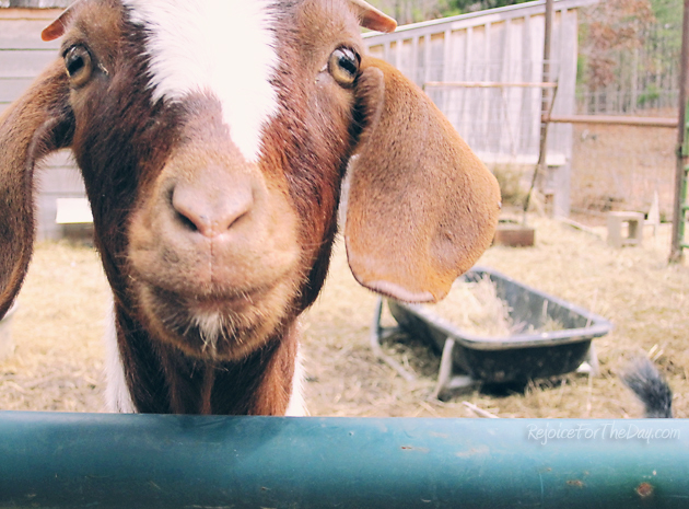 a happy goat