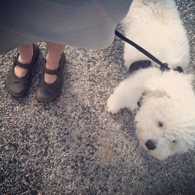 Bichon on a walk
