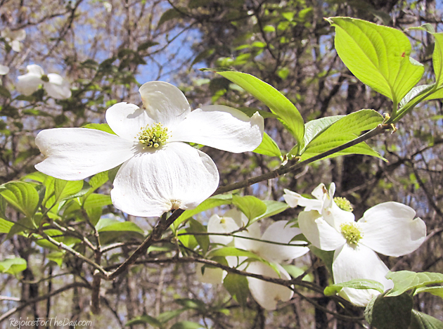 Dogwood flower