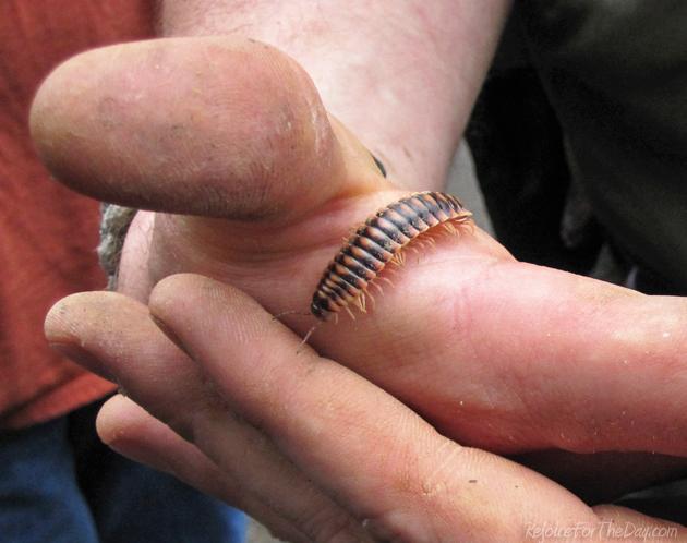 Nature millipede
