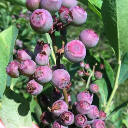 garden blueberries