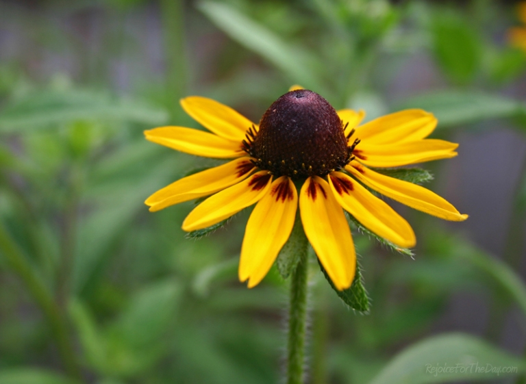 Black Eyed Susan alone