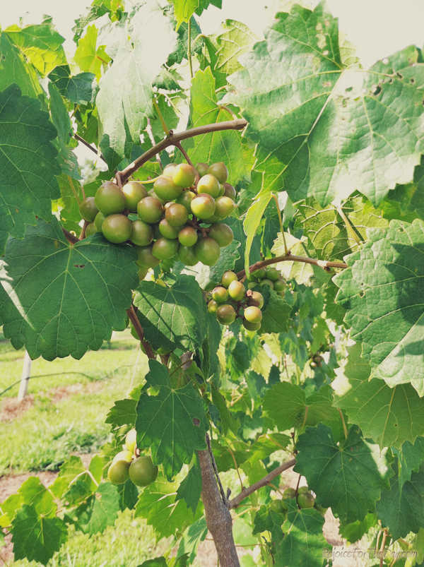 July grapes