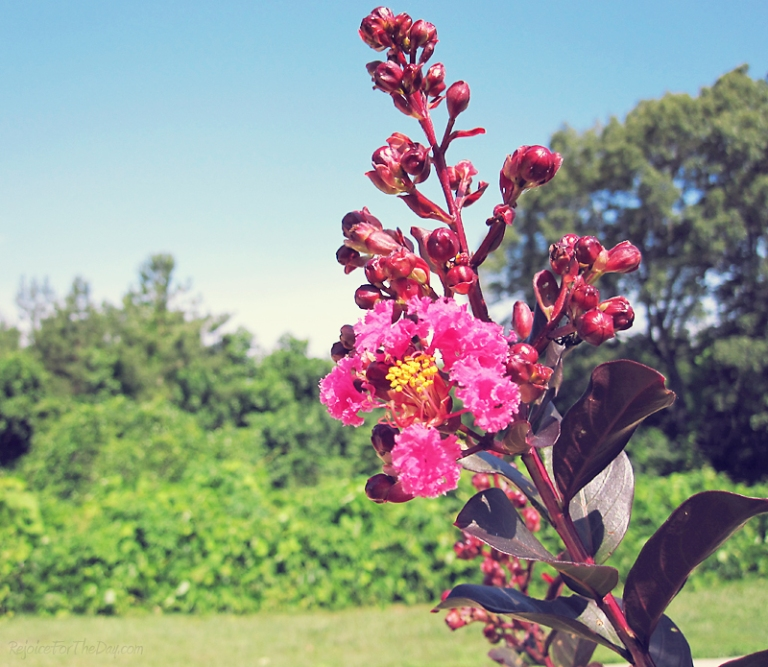 summer crepe myrtle