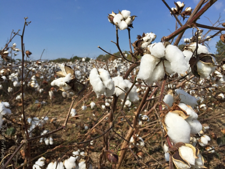 TN Cotton Field