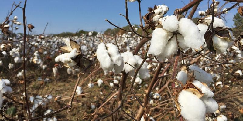 TN Cotton Field