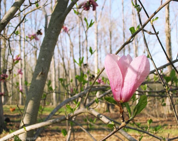Mary Jane Magnolia