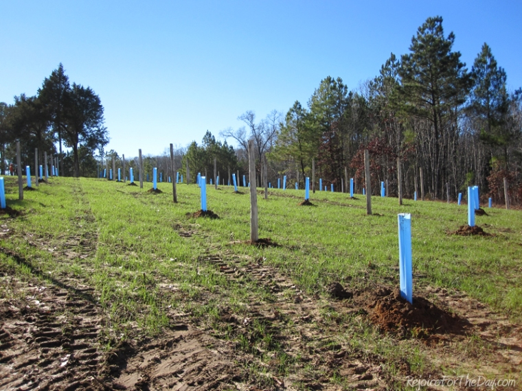 Dec 2012 - newly planted muscadine vineyard