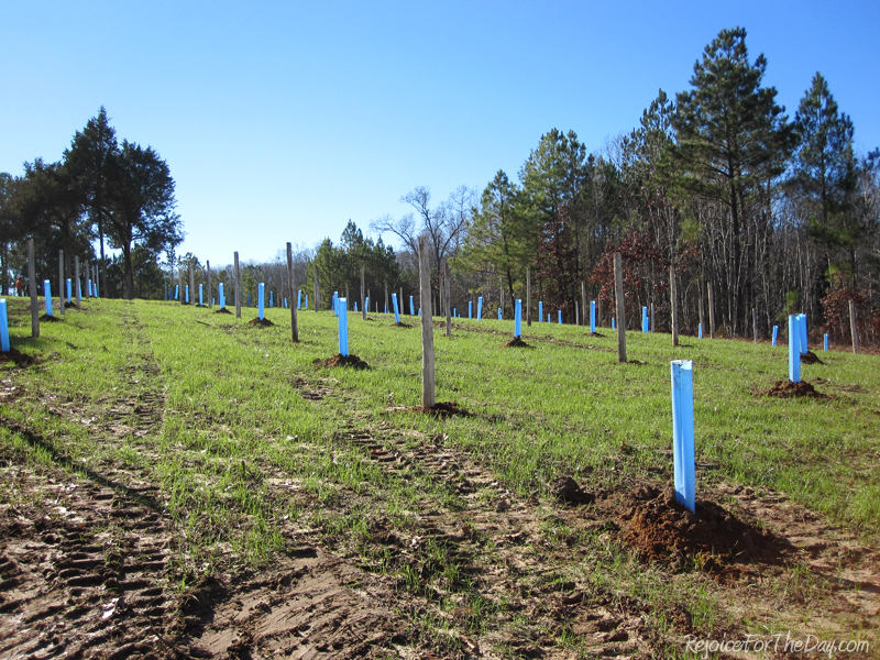 Dec 2012 - newly planted muscadine vineyard