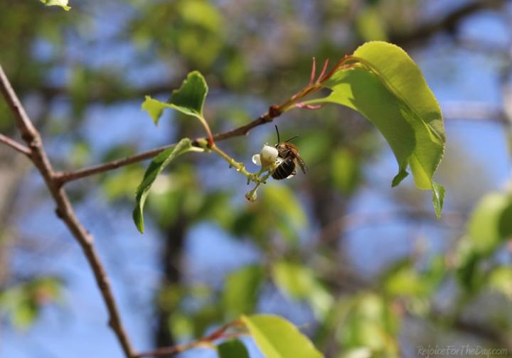 springtime in the vineyard bee