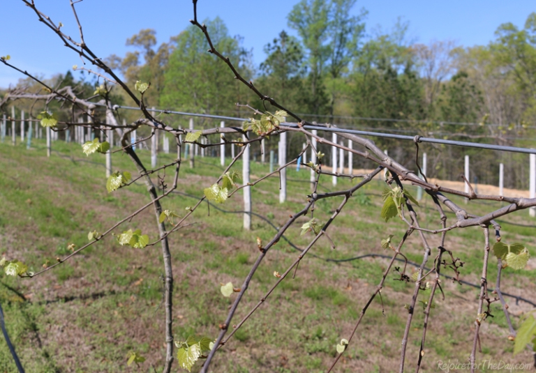 springtime in the vineyard vines