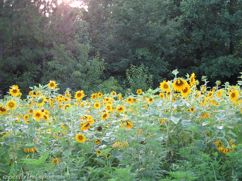 June 2011 - sunflower field