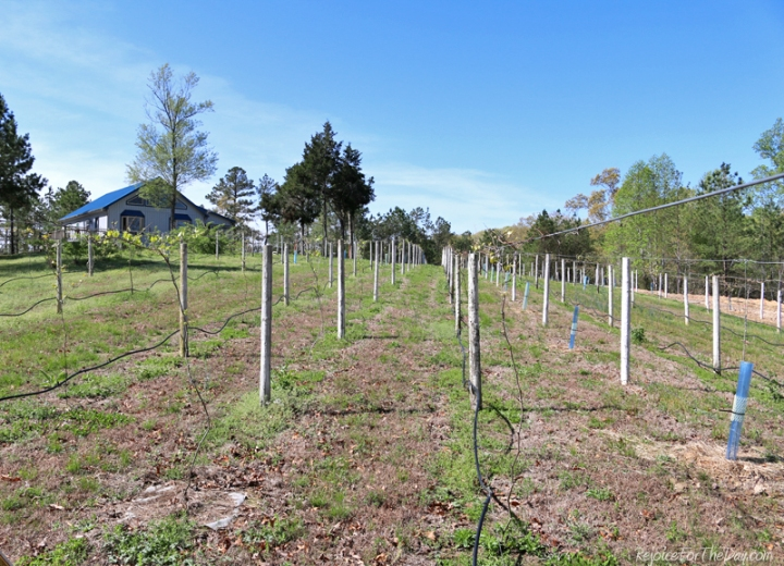 April 2015 - a two year old vineyard
