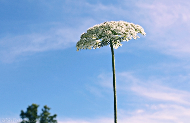 Queen Anne's Lace edit