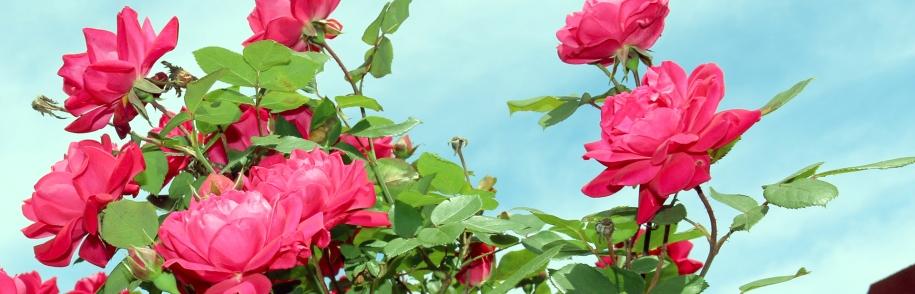 FI roses copy