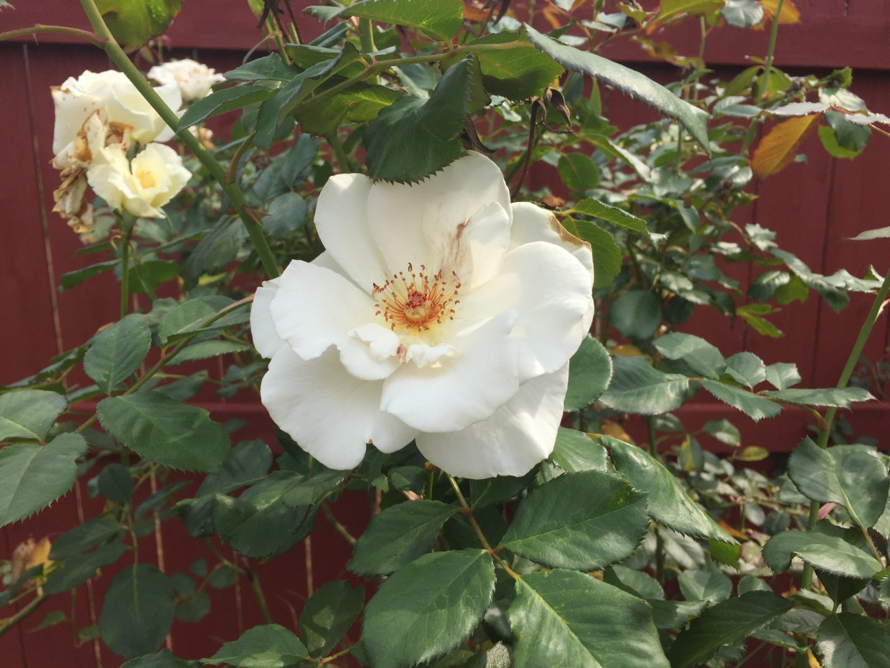 New... New fall blooms on my rose bushes.