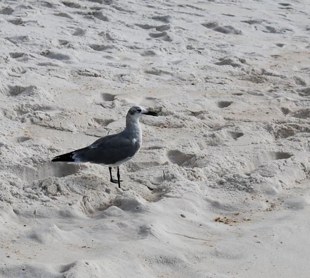 Beach seagull