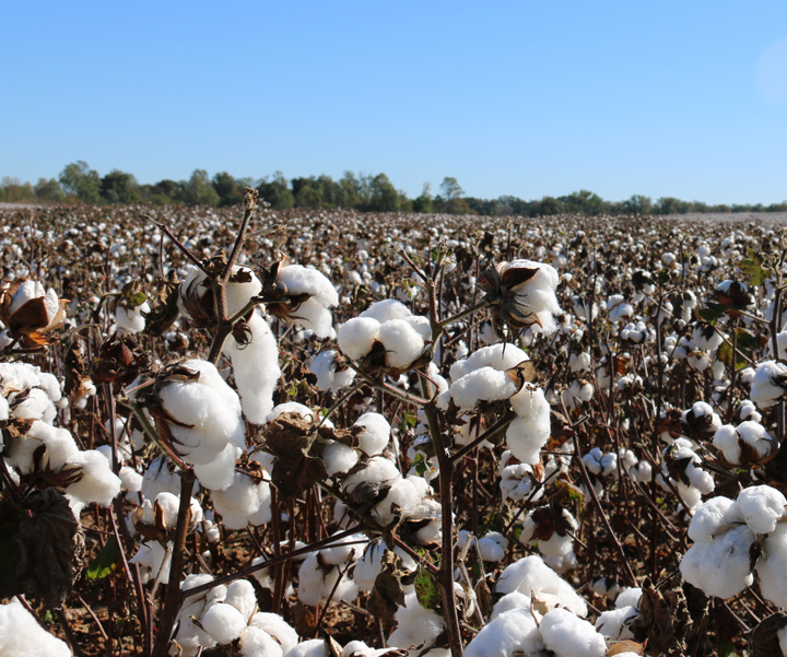 Oct cotton field 2