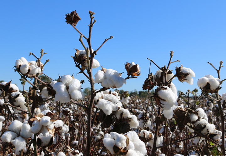 Oct cotton fields