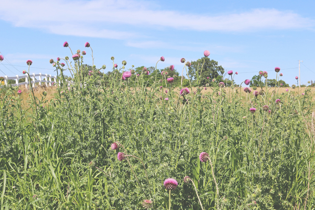 thistle field