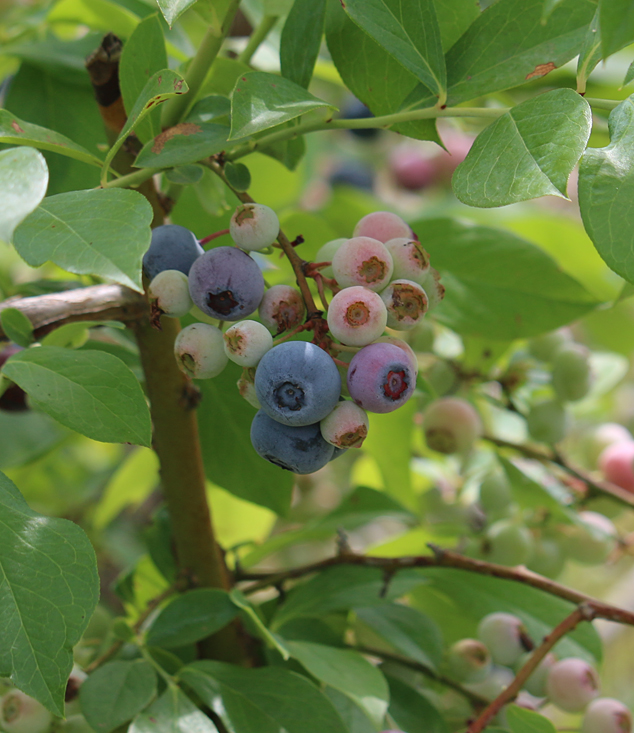 blueberry season 2016