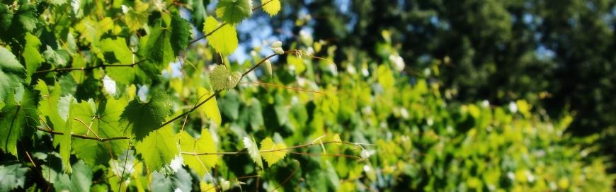 FI muscadine vines