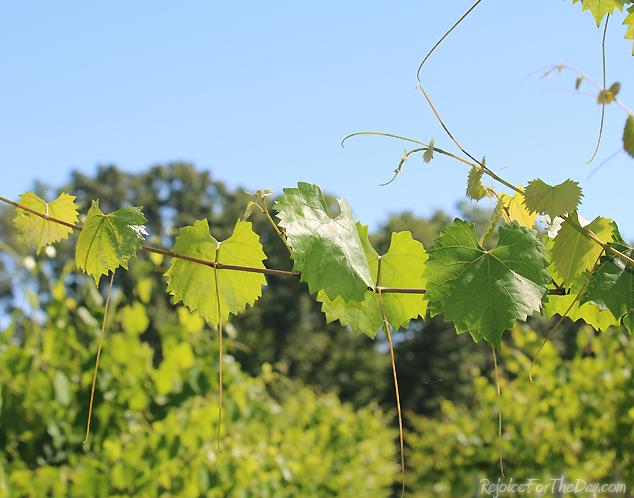 muscadine vines 2