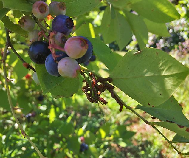 blueberry caterpillars