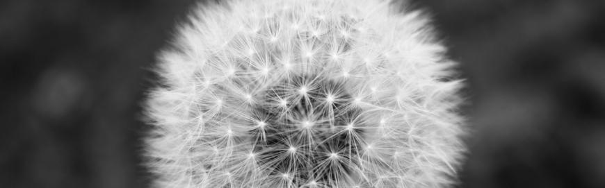 FI dandelion puff