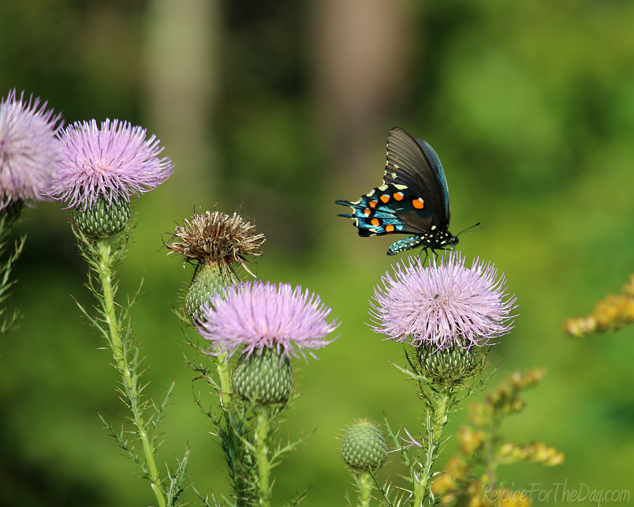 Thistles and Butterflies