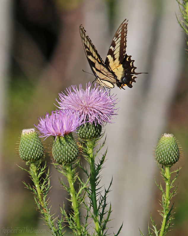 Thistles and Butterflies2