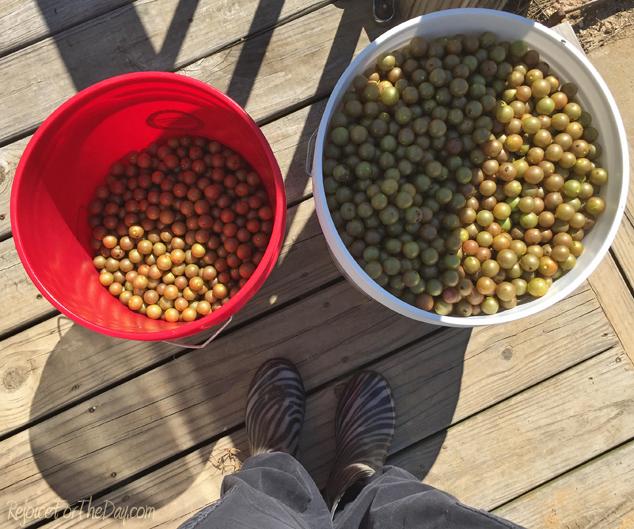 buckets-of-muscadines