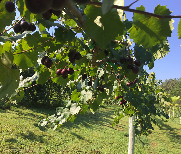 red-muscadines