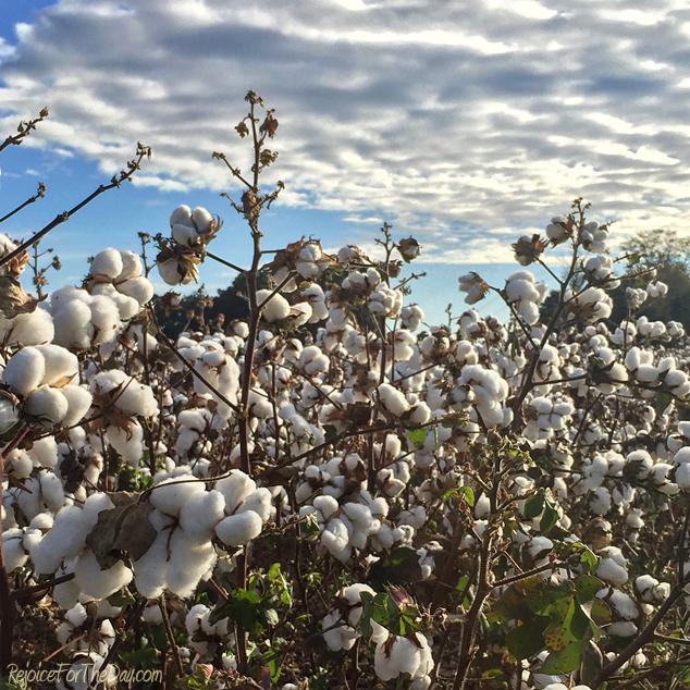 cotton-field-2016