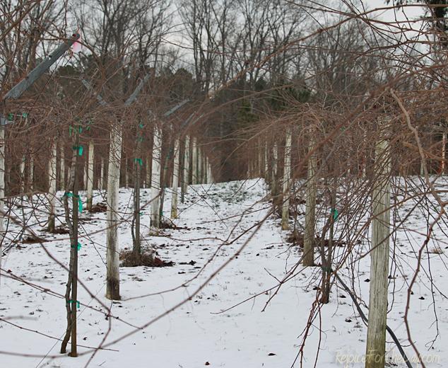 vineyard-in-winter