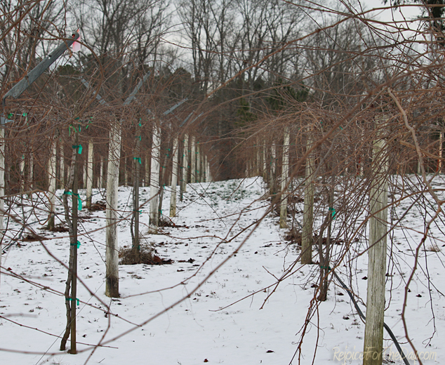 vineyard-in-winter