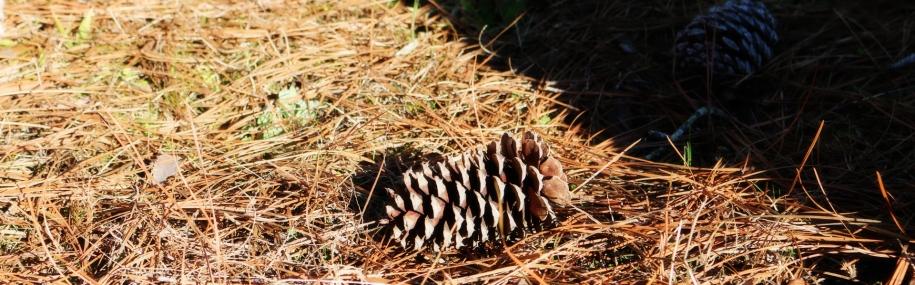 fi-pine-cone