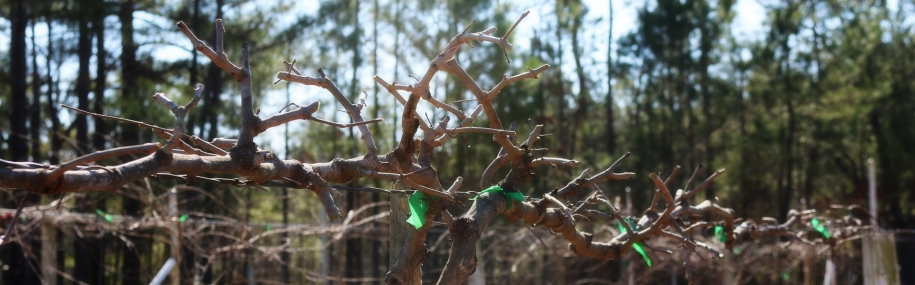 fi-pruning-muscadine-vines