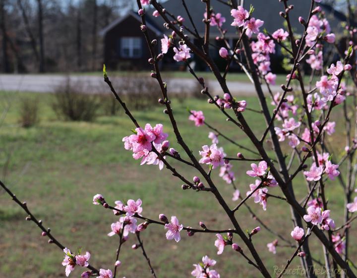 neighborhood-tree-blooms