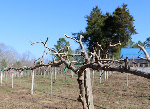 pruned-muscadine-vine