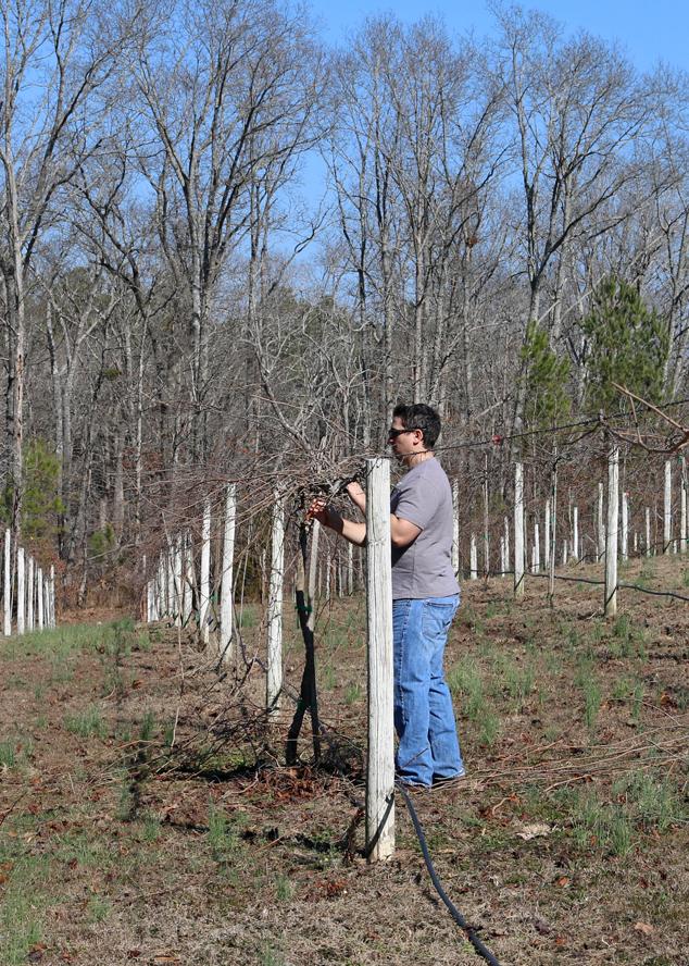 pruning-muscadine-vines