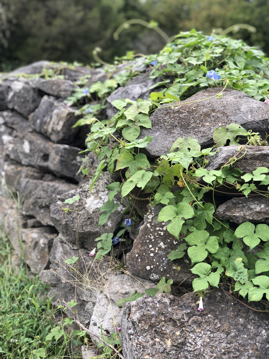 Rock walls and vines in Williamson County.