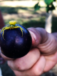Yellow spider, purple grape