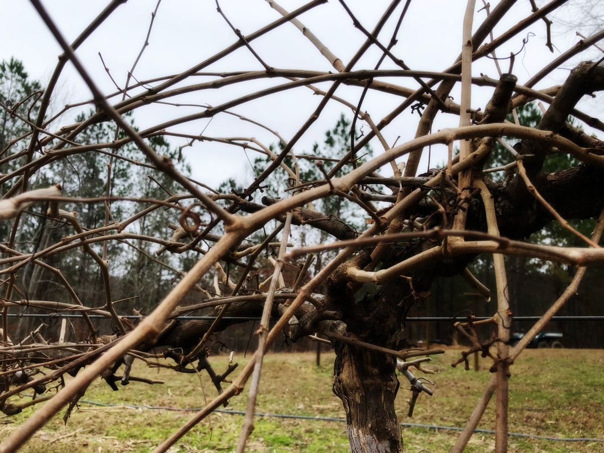 Dear Diary 2019:  The Week of Nashville and Pruning...