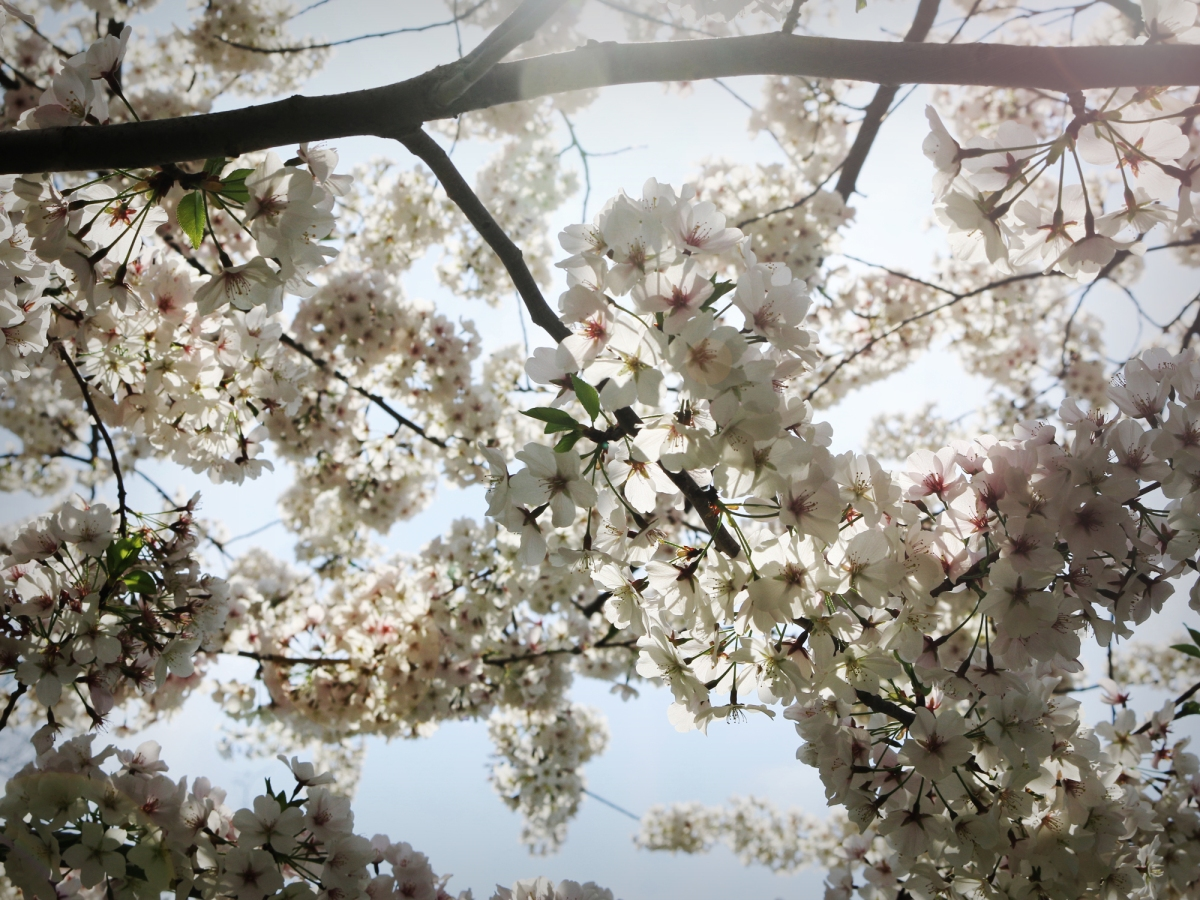 Dear Diary 2019: The Week of Cherry Blossoms