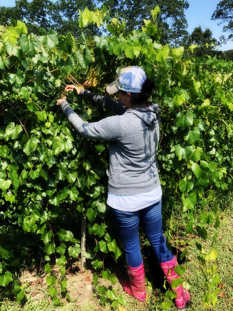 Cavia Creek Harvest 1